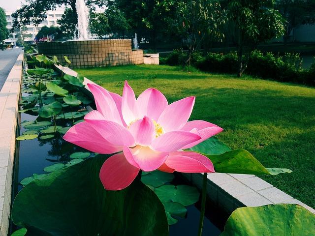Lotus Garden Flower Free Photo On Pixabay