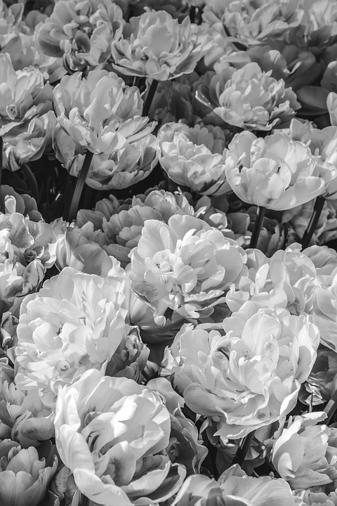 Flowers black and white peonies free photo on pixabay flowers black and white peonies flower background mightylinksfo