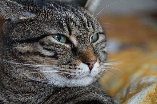 Kucing, Hewan, Mamalia, Potret