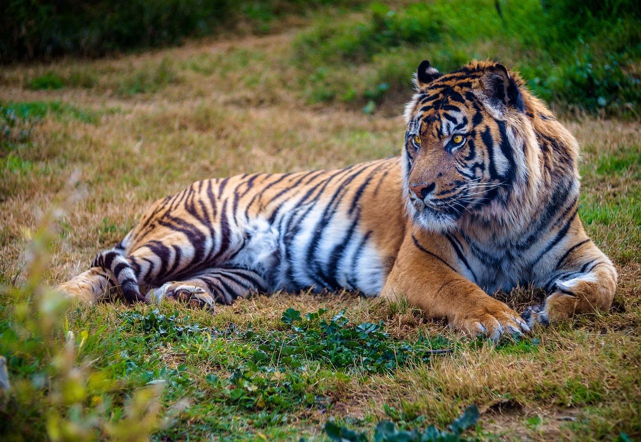 Кошка тигр фото