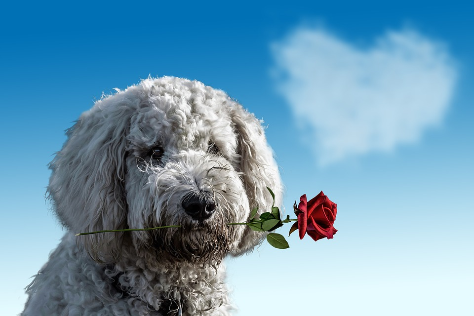 Valentine'S Day, Dog, Animal, Cute, Rose, Heart, Love