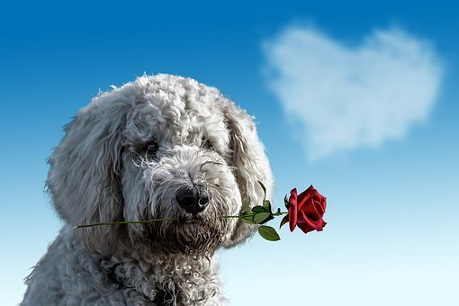 Valentine'S Day, Dog, Animal, Cute, Rose,Know more about the days leading up to Valentine's day like Rose Day, Chocolate day and Anti-Valentine's day like break up day, slap day and more.