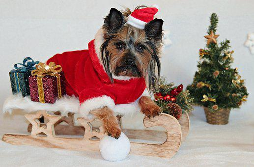 ヨークシャーテリア, 犬, クリスマス, スレッジ, サンタ クロース