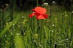 mak, kwiat, natura