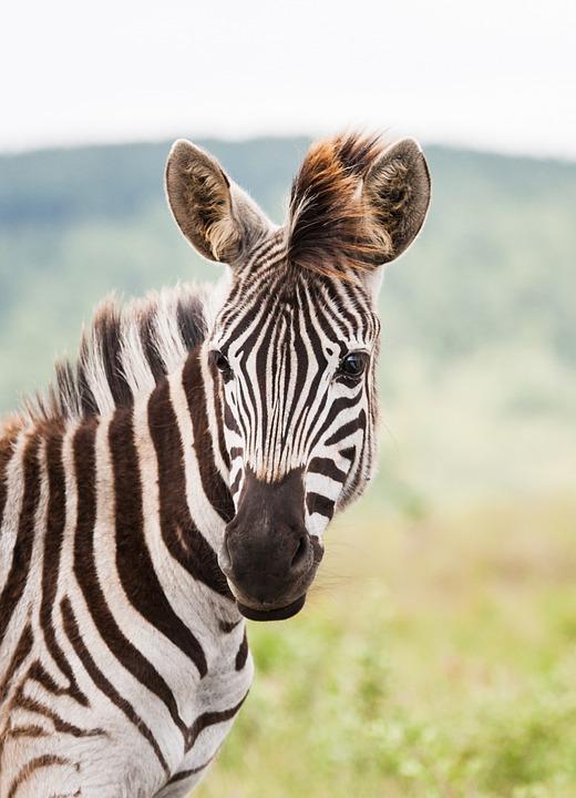 Young Zebra Portrait Foal 183 Free Photo On Pixabay