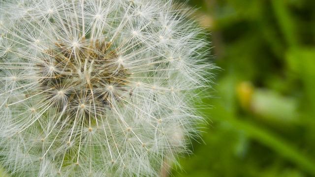 Dente De Leão Natureza Planta - Foto gratuita no Pixabay