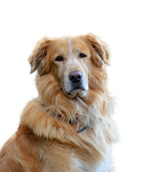 Golden Retriever, Isolated, Dog, Pet