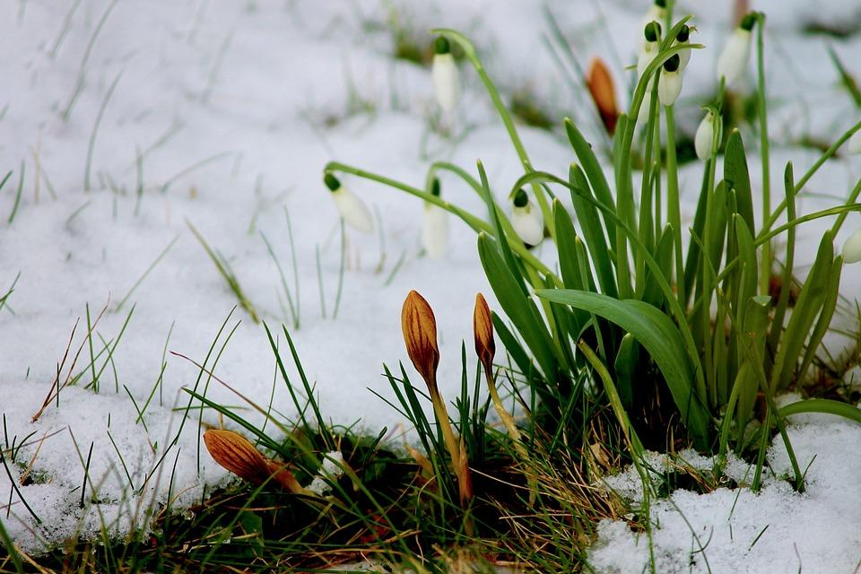 Kostenloses Foto: Krokus, Knospen, Schnee, Blumen ...