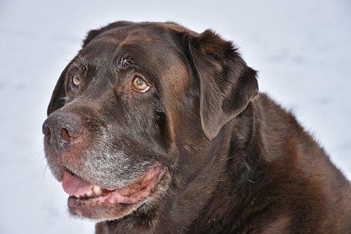 Dog, Animal, Pet, Cute, Mammal, Labrador