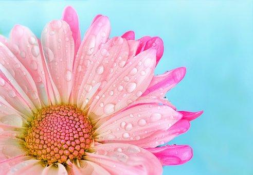 花, 自然, 植物, 夏, 花弁, デイジー, ピンク, マクロ