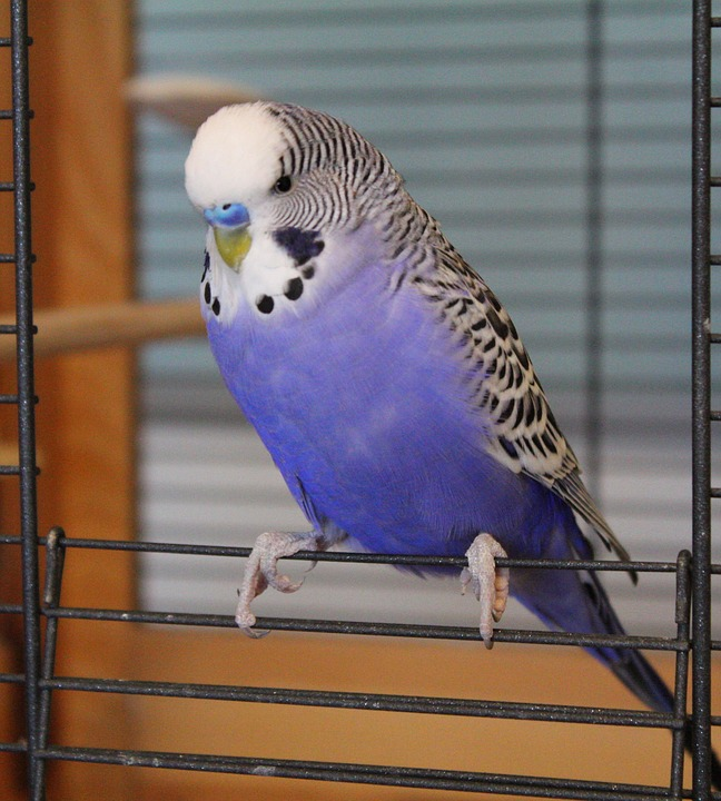 free photo budgie blue parakeet pet bird free image