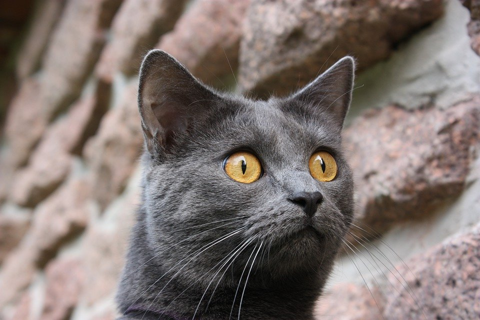 Ázijský veľký mačička obrázky