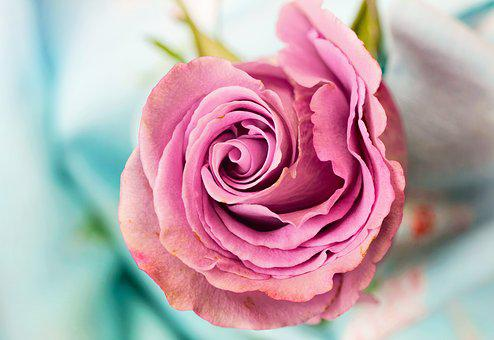 Rose, Flower, Petal, Love, Floral, Macro
