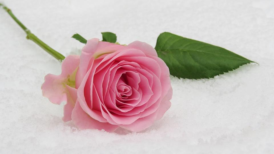 Rose Winter Blossom 183 Free Photo On Pixabay