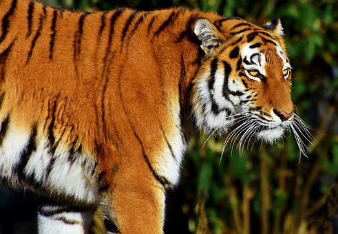 Tiger Head Images Pixabay Download Free Pictures