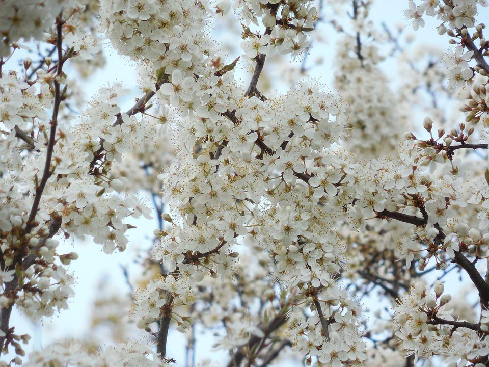 Blühenden Kirsch Weißen Blüten · Kostenloses Foto auf Pixabay