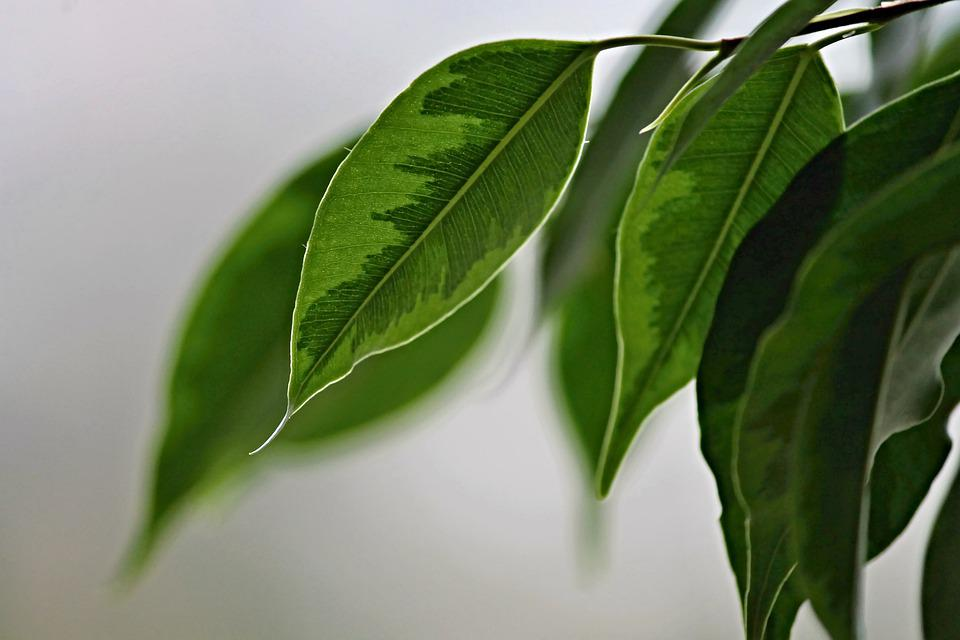 Birkenfeige, Foglie, Struttura, Verde, Ficus Benjamina