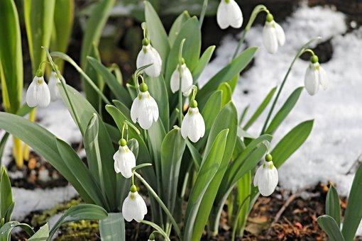 Hóvirág, Hó, Hideg, Tavaszi, A Tavasz