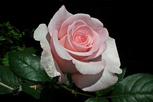 Fleur, Rose, Pétale, Amour, Closeup
