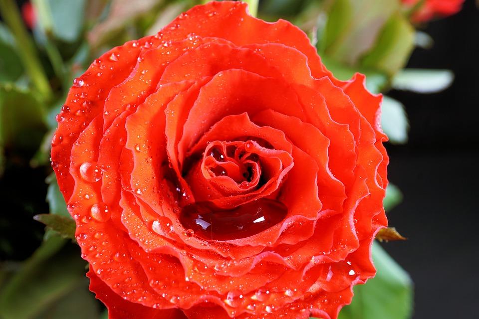 Día De San Valentín, Rosa, Amor, Rojo, Flor, Noble