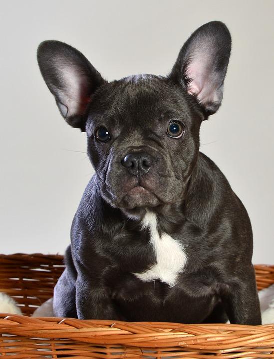 gratis fransk bulldog