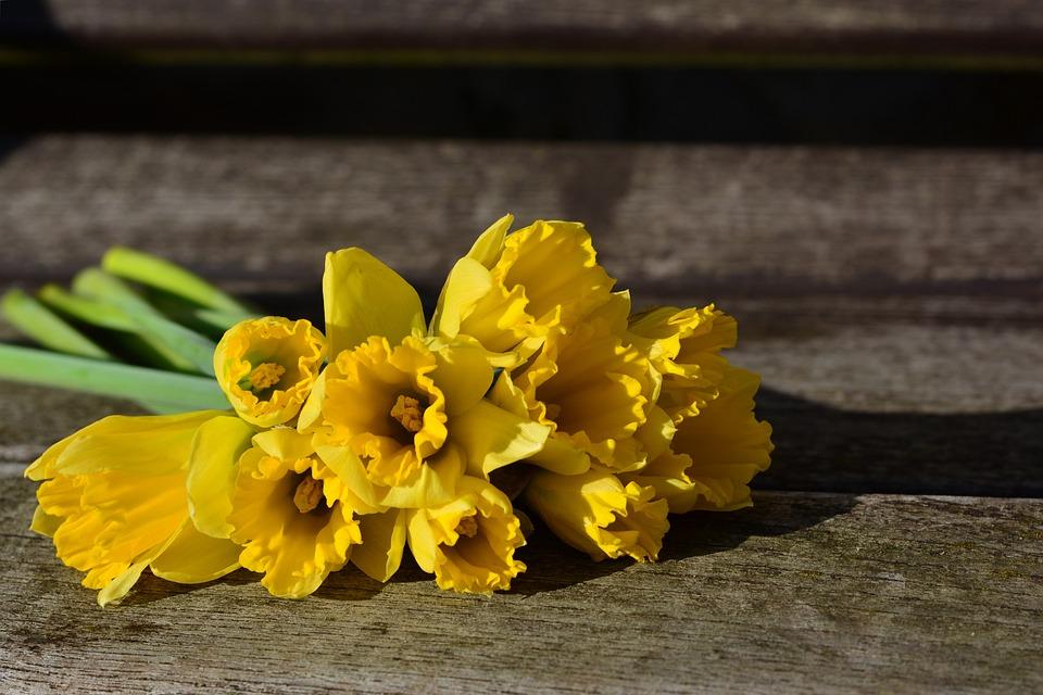 Narcisos Amarillos Foto Gratis En Pixabay - Narcisos-amarillos