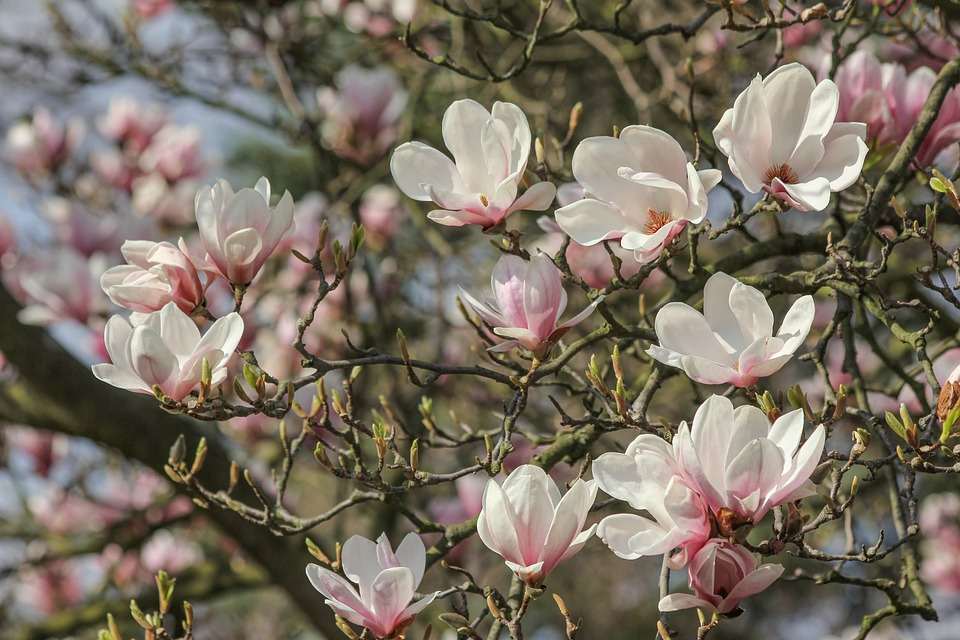 Magnolia Tree Flowers Free Photo On Pixabay