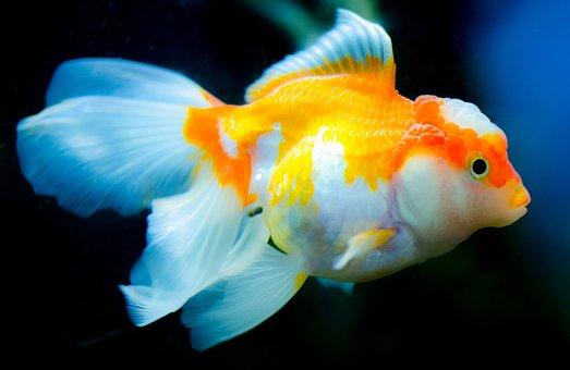 underwater aquarium fish goldfish - Picture Of Fish