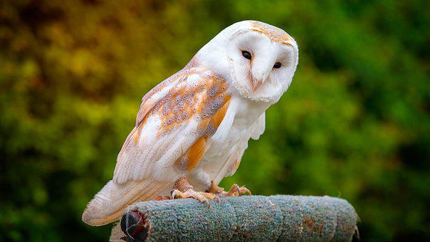 Barn Owl, Nature, Wildlife, Bird
