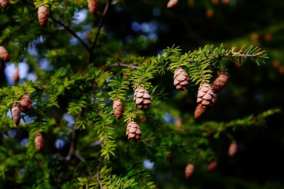 Tree, Branch, Nature, Outdoors, Flora, Hemlock