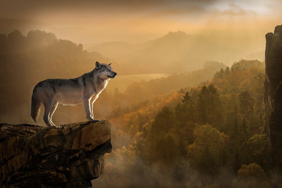 Wolf, Lonely, Rest, Sunset, Nature, Animal
