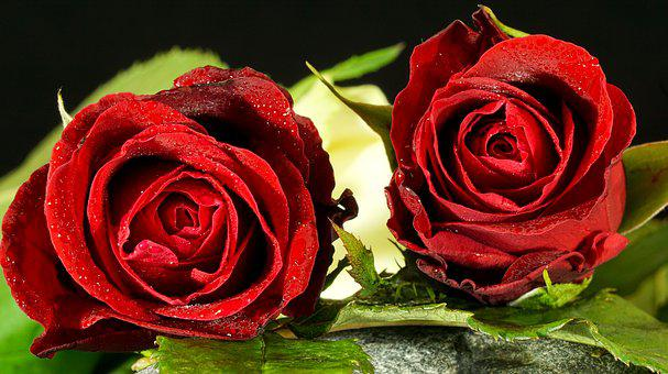 Rose, Red, Flower, Petal, Love, Romance,Know more about the days leading up to Valentine's day like Rose Day, Chocolate day and Anti-Valentine's day like break up day, slap day and more.
