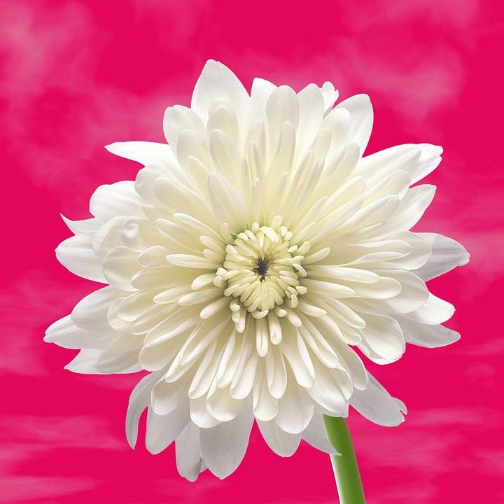 Flower white background free photo on pixabay flower white flower background flower background mightylinksfo
