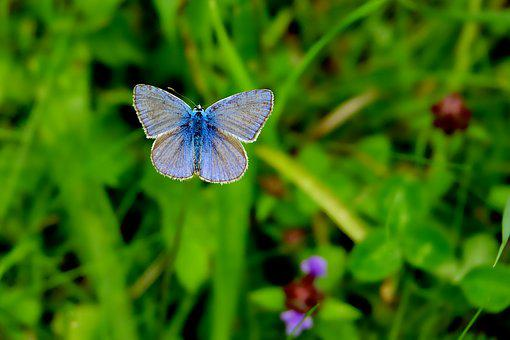 Common Blue, Nature, Summer, Grass, Leaf