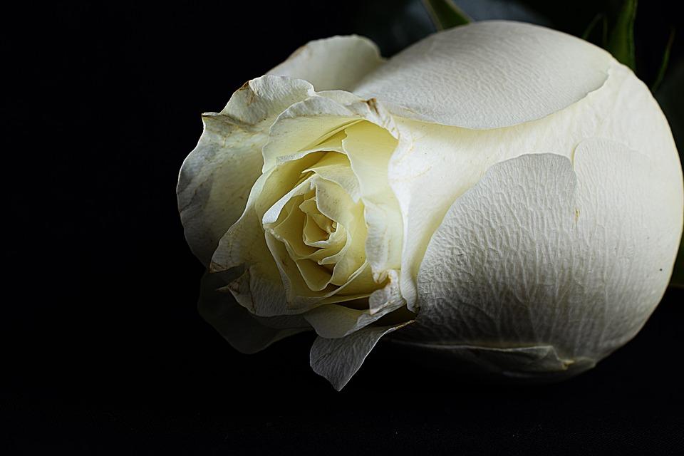 Rosa Bianca Sfondo Nero Foto Gratis Su Pixabay