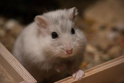Cute, Small, Mammal, Animal, Hamster