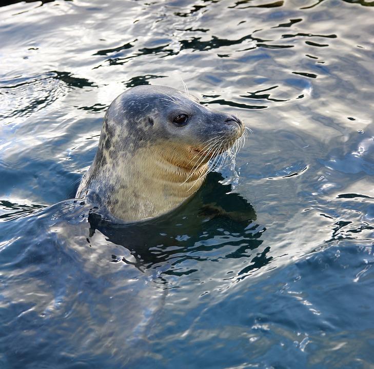 Lobo De Mar, La Vida Silvestre, El Agua, Animales