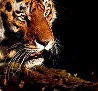 kostenloses foto tiger weisser tiger wei er tiger. Black Bedroom Furniture Sets. Home Design Ideas
