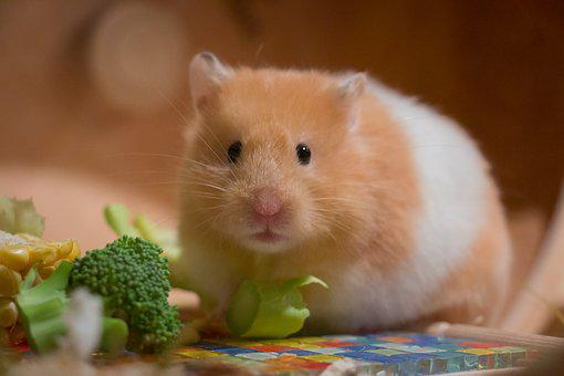 Cute, Small, Portrait, Goldhamster