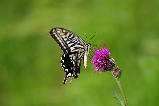 Fjäril, Natur, Insekter, Utomhus
