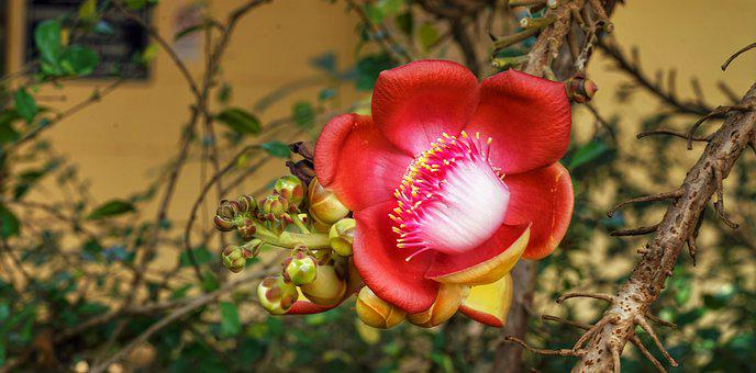Fullträff, Trädet, Red, White, Blomma