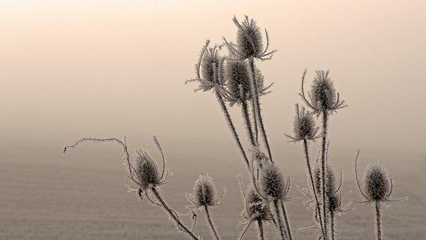 Natur, Tistel, Dimma, Växt