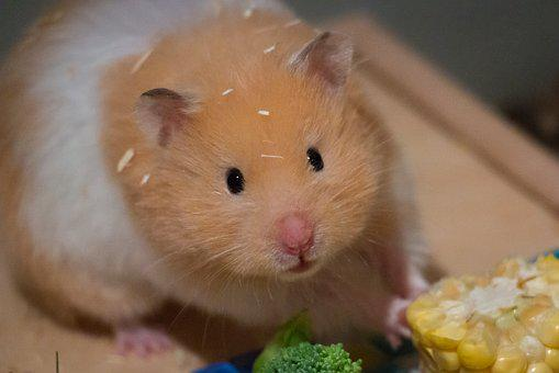 Cute, Small, Corn, Goldhamster