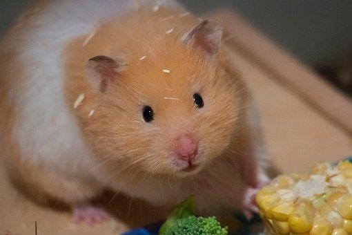 Cute, Small, Corn, Goldhamster