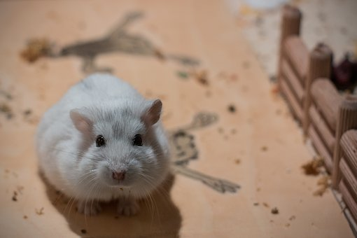 Small, Dwarf Hamster, Hybrid, Pet