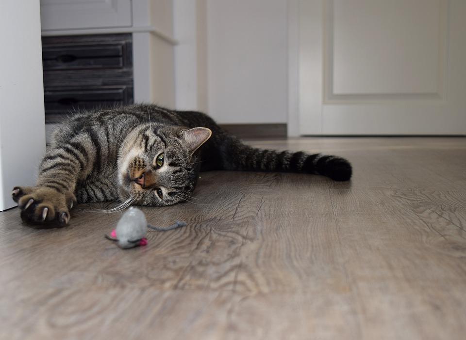 Gato, Animal, Bonito, Pet, Sala, Jogar, Mouse, Pata