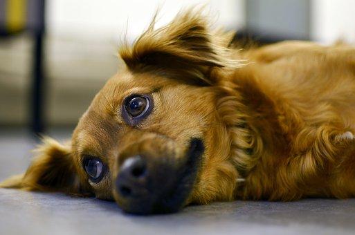 犬, かわいい, 動物, ペット, 子犬, 探している, リラックス, 後背位