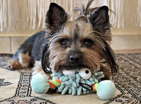 Yorkie, Dog, Cute, Eyes, Is Watching