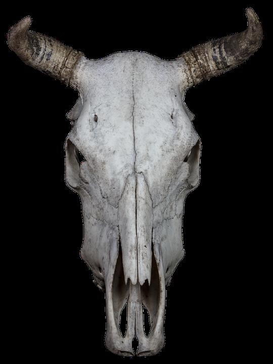 Schädel Knochen Rind · Kostenloses Foto auf Pixabay