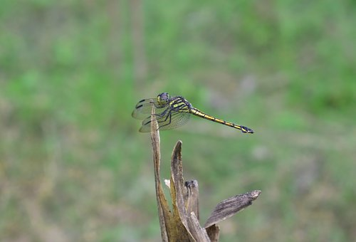 Dragonfly, Wildlife, Nature, Animal